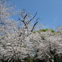 「桜」/上野公園