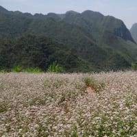 蕎麦の花(Hoa tam giác mạch)