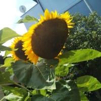 Happy Sunny Sunflower 🌻