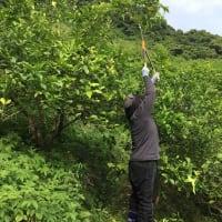 神石高原 尾久比島レモン収穫