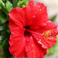 季節の庭花・ハイビスカス