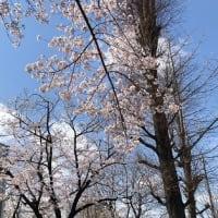 昭島市:桜花爛漫