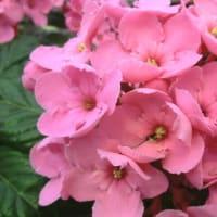 スイートルビーの花は