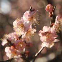 和束天満宮の梅花