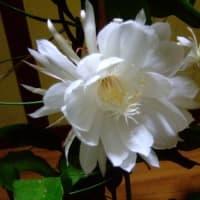 連夜の月下美人の開花