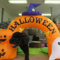 幼稚園体験にきてくれたトイプードルの【茶々丸くん】  犬のしつけ教室@アロハドギー
