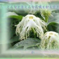 『 こんなときこんな花咲くからすうり 』物真似575zqr1104