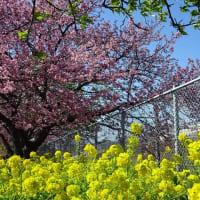 「河津桜&菜の花」/三浦海岸