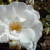 薔薇たちと大正時代のネオ・ルネッサンス様式の建物 ~バラ便り~(5)