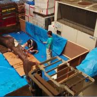 幻のサメ「メガマウス」は、研究のため解体、剥製に!