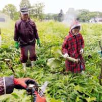 オオウバユリでアイヌ民族伝統保存食作り 白老