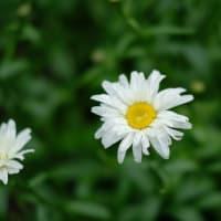 今年は早いぞ夏の花