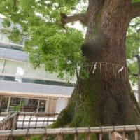 文京区の巨樹と気の交流