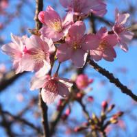サクラ(河津桜)- 於大公園