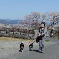 霞間ヶ渓の桜を見に 1