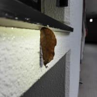 アケビコノハを発見!