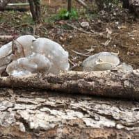 貝殻のようなキノコ