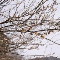第47回筑波山梅まつり開園式。