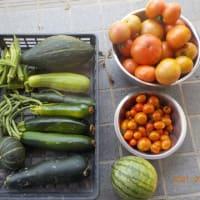 今日の収穫 トマト スイカ カボチャ シロウリ ズッキーニ キュウリ オクラ インゲン ピーマン シシトウ ミョウガ