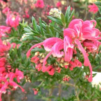 グレビレア・ピグミーダンサーの花は