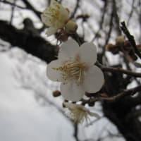 梅の花が咲き始めました。(2020年1月24日、千葉市緑区)