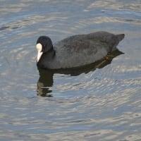 晩秋の陽射しを浴びる水鳥たち
