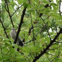 ここの林には、オナガの幼鳥がいた。