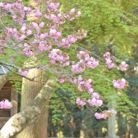 モーツアルト的な桜・・・・・って