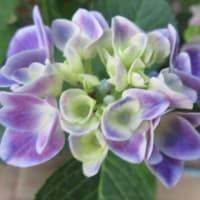 紫陽花「チボリ」 3