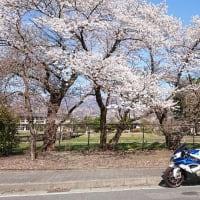 桜が満開になって来てます♪
