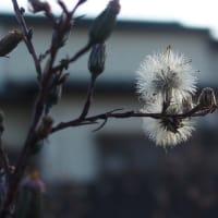 ホウキギク(箒菊)