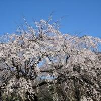 「枝垂桜」/新宿御苑2020