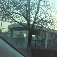 安行桜が開花・・・昨年よりも10日も早いんです!!