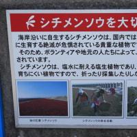 海の紅葉「シチメンソウ」-佐賀市