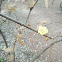 初詣 早咲きの梅と桜
