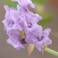 6/25、6/18 ベロニカグレースの花など