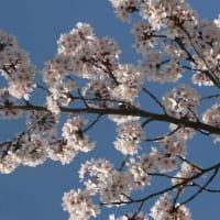 京都も開花宣言