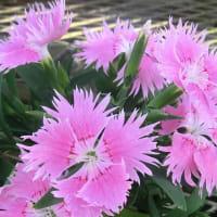 ダイアンサス・スープラの花は