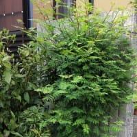 Kennyのささやかな楽しみ:大きくなった挿し木の山椒の木