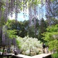<万葉植物園再オープン> ちょうど見ごろの「藤の園」