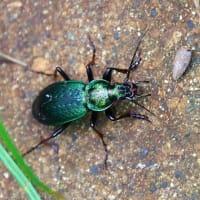 真夏に出会ったピカピカの甲虫たち