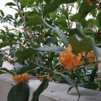 シャンソン歌手リリ・レイLili Ley 三度目の金木犀の花が香る🎵