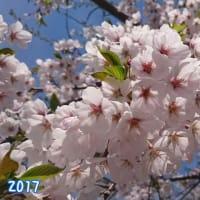 桜🌸2017