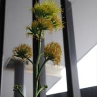 100年に一度の奇跡!アガベ開花
