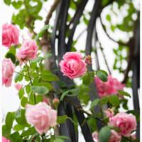 靭公園の薔薇