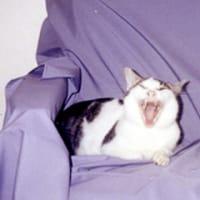 猫があくびをするところを写真にとった