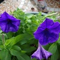 秋空に濃紫星