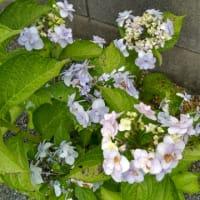 紫陽花( ^ω^ )
