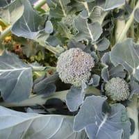 冬野菜の危機