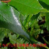 フタオチョウ幼虫